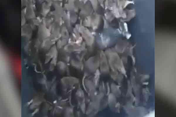چهار میلیون موش در پاریس !   پاریس در شوک